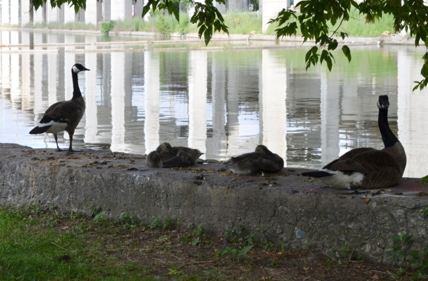 white concrete supports of the elevated Gardiner Expressway are reflected in the water of the Keating Channel while a family of Canada Geese sit on the bank