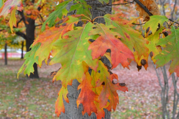 oak leaves in greens, yellows, reds, and oranges