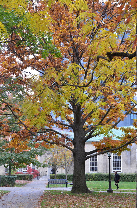 large tree in autumn colours on University of Toronto campus
