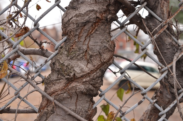 a tree has grown up around a chainlink fence so the fence is embedded in the tree