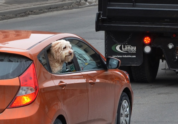 a long haired furry beige dog with its head out the front seat window of an orange car in traffic