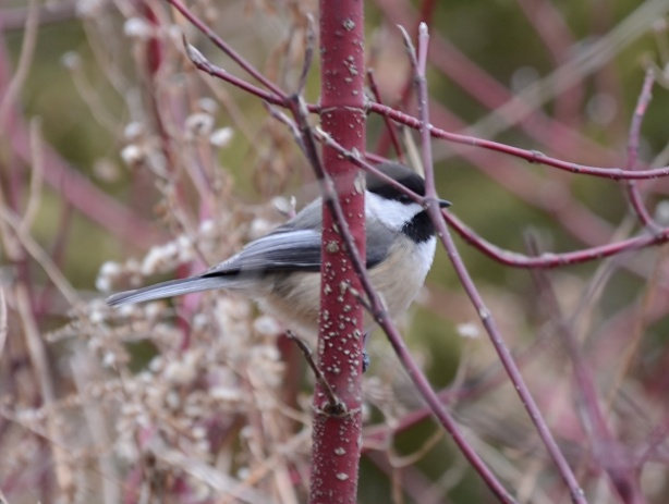 chickadee sitting in a red dogwood, early spring, bright red branches, no leaves