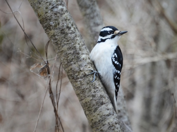 female downy woodpecker on a small tree