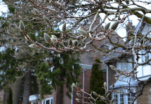 magnolia buds on a tree in a front yard