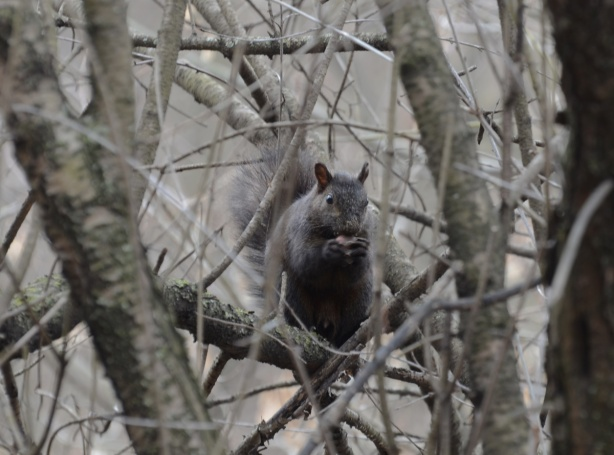 black squirrel sitting among tree branches, holding something in its mouth