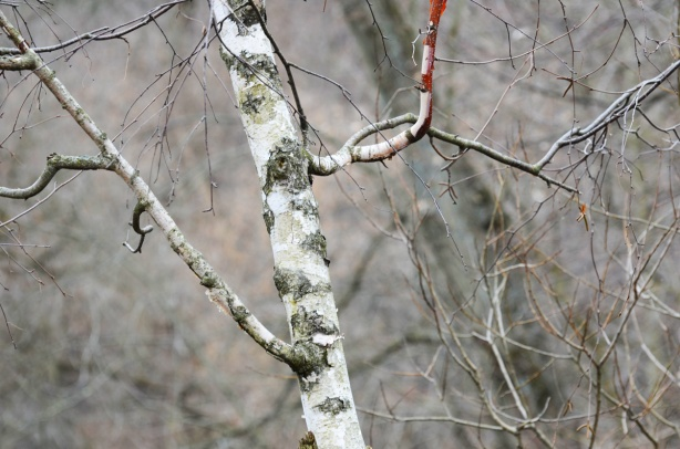 young birch tree
