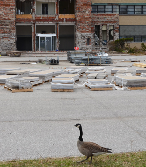 solitary Canada goose walking on the grass beside the parking lot for old IBM building, demolition of one of the entrances in the background