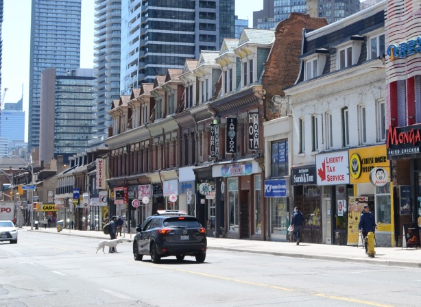 a car stops on Yonge street to let a man and his white dog cross the street