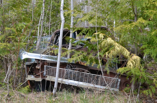 junked, old cars, McLeans Auto Wreckers, falling apart car, brown, with birch trees growing up within the frame of the car