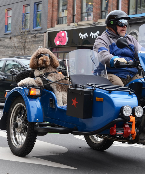 large shaggy brown dog sitting in a motorcycle sidecar, wearing sunglasses