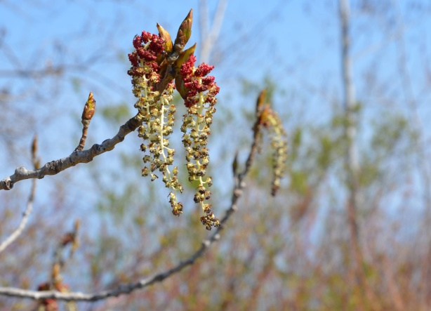 long droopy buds on a tree, dark red on top and golden yellow on the lower parts, out of focus trees in the background