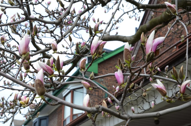 magnolia tree in front of some houses with magnolias about to be in full blossom