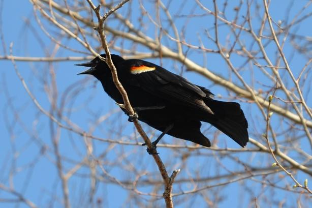 a male redwing blackbird in a tree, making noise