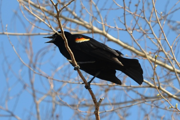 a male redwing blackbird in a tree, making noise