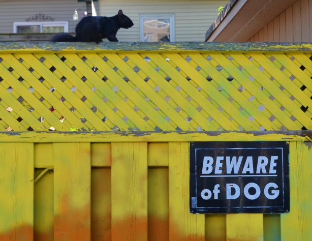 sign on a yellow wood fence that says beware of dog, a black squirrel is sitting on top of the fence