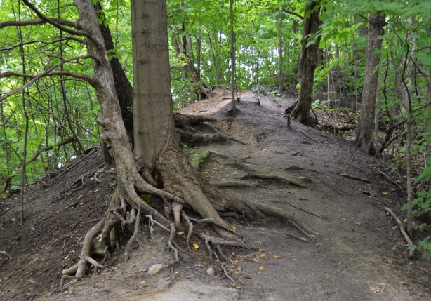 dirt path in the woods, with many large trees with exposed root systems