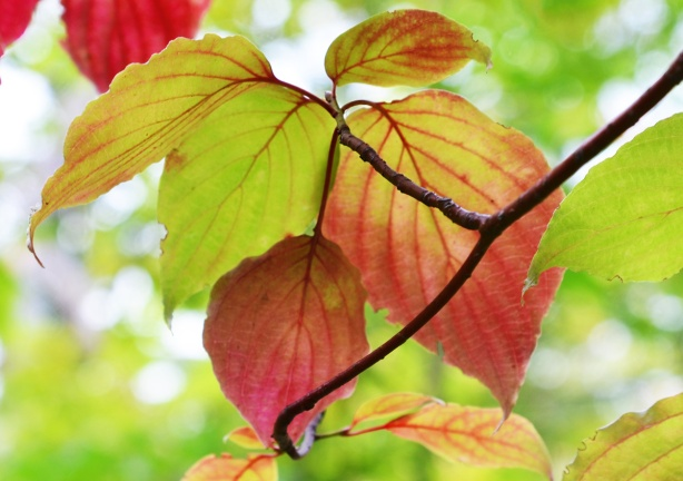 green leaves turning red in the autumn, on the tree, with sun light shining through them