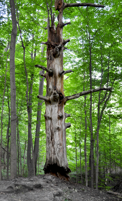 large old dead tree trunk in forest