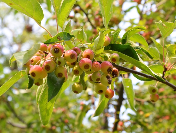 a large bunch of crab apples on a tree, many many berries on the tree
