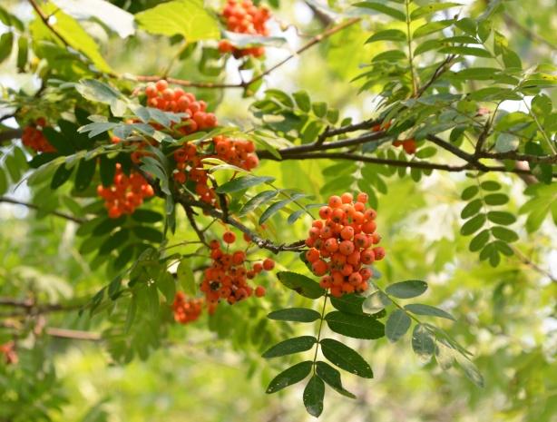 orange mountain ash tree berries on a tree
