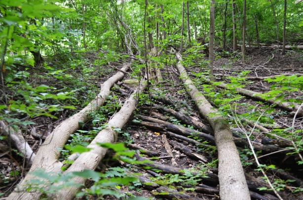 3 tall trees that have fallen beside a ravine path