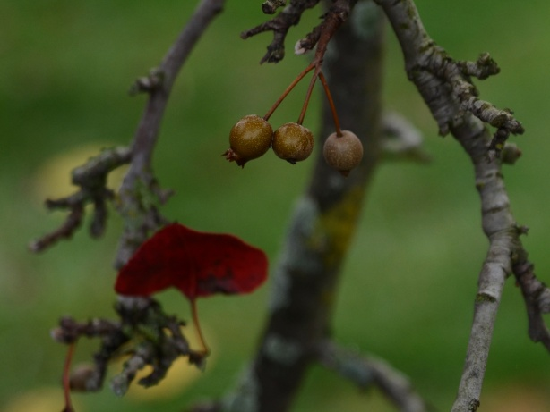 three dried berries on a shrub with one red leaf, autumn