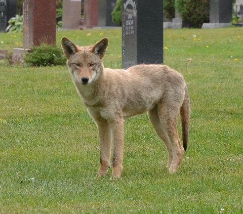 light brown coyote