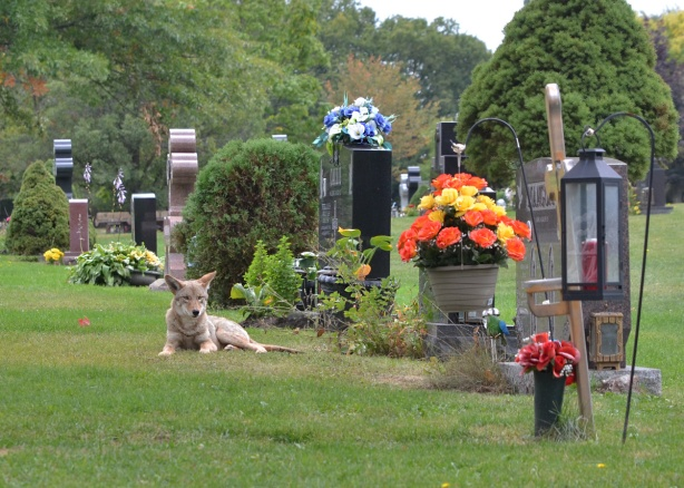 coyote lying in front of monuments, tombstones at Pinehills cemetery