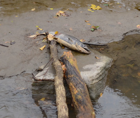 a large dead fish has washed up onto the sandy shore of the Don River