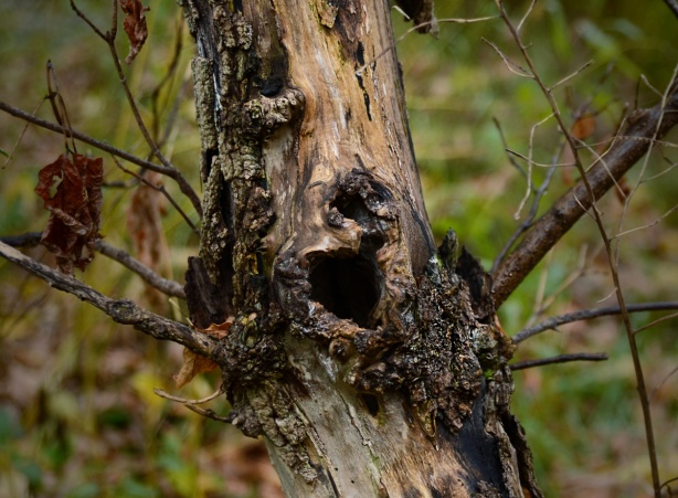 gnarly old dead tree that looks like screaming face