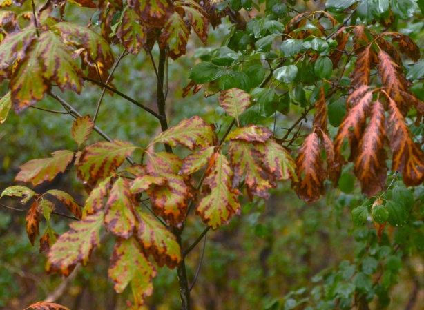 leaves on a small oak tree have turned a rusty red colour around the edges