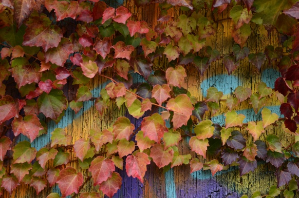 autumn coloured vine leaves cover a wall that has street art painted on it