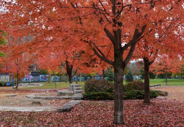 Felstead Park, a tree with a lot of red leaves on it, as well as on the ground below it, dominates the picture