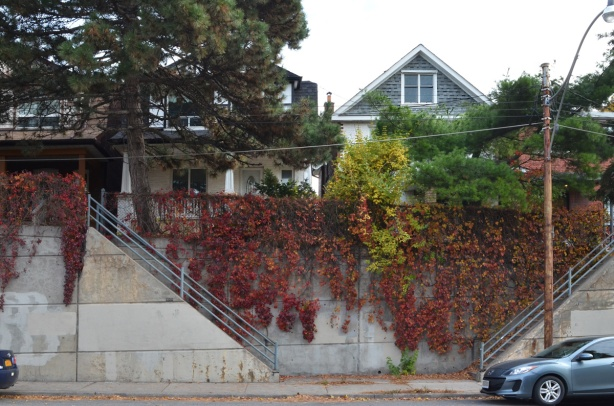 red vine covered concrete wall on Keele St., in front of houses up on the hill, steps up the houses