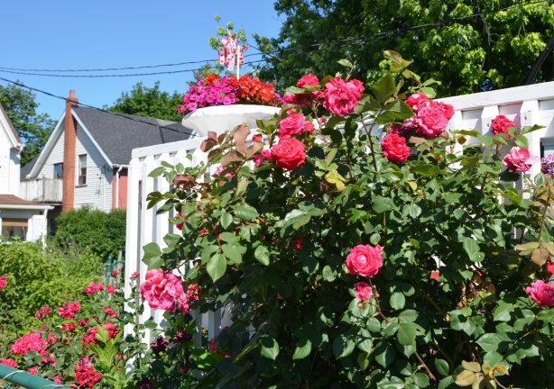 lots of roses growing on a rosebush beside a white fence