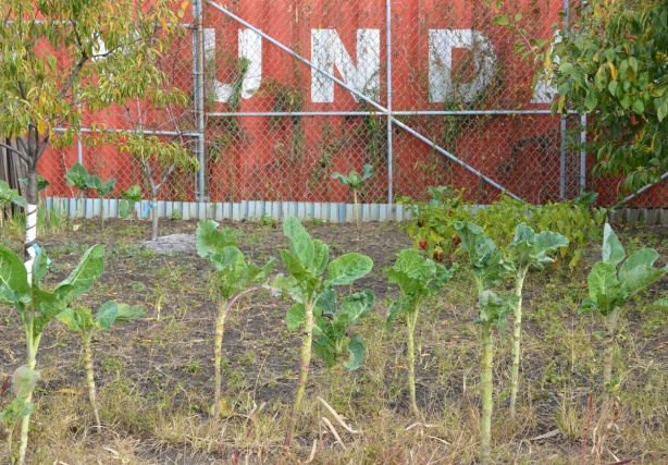 remains of a vegetable garden in November, tall plant, brussel sprouts, that have lready been harvested, a small fruit tree