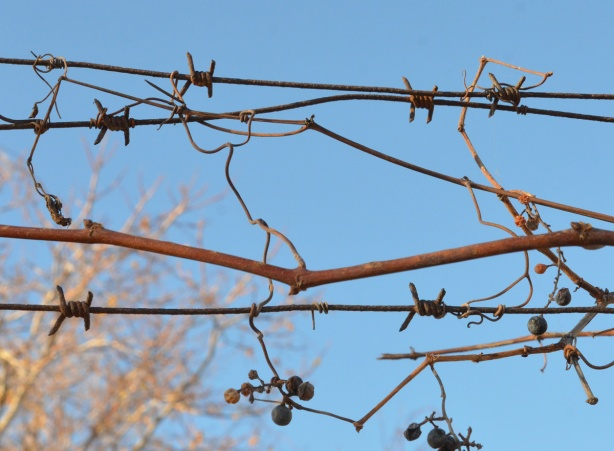 a vine with dried berries and leaves grows on a barbed wire fence