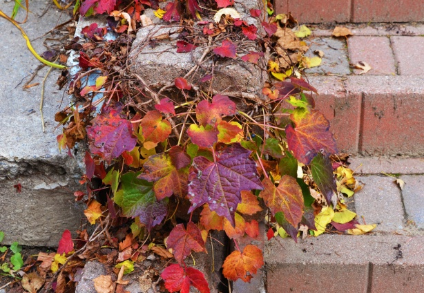 vines on a concrete stair case, autumn colours