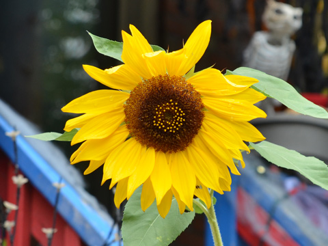 a sunflower in bloom