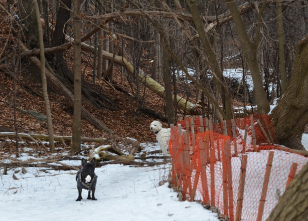 2 dogs on a snow covered path in the woods