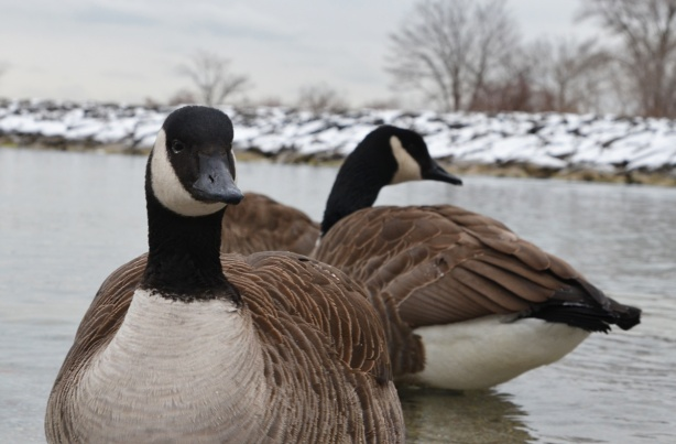 two canada geese in the water, up close