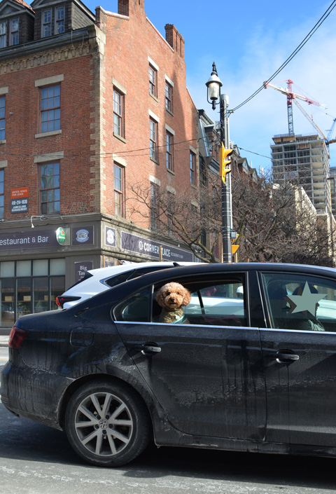 a small dog is looking out the open window of a black car
