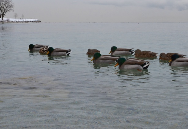 mallard ducks with their heads down,m on Lake Ontario