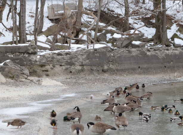 many mallards and canada geese in the water, trees on the shore, an old sofa is perched among the trees, facing the water, winter, snow,