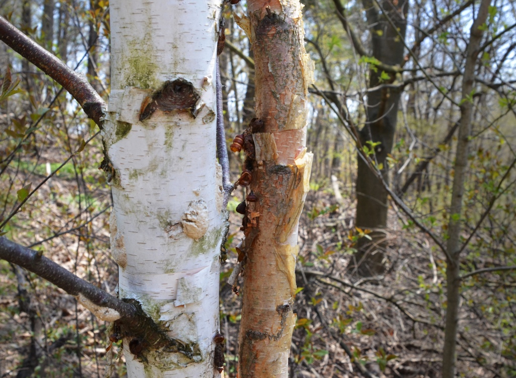 Two birch trees in a forest, one is younger and has just started shedding it's brownish bark, the other is older and had white bark