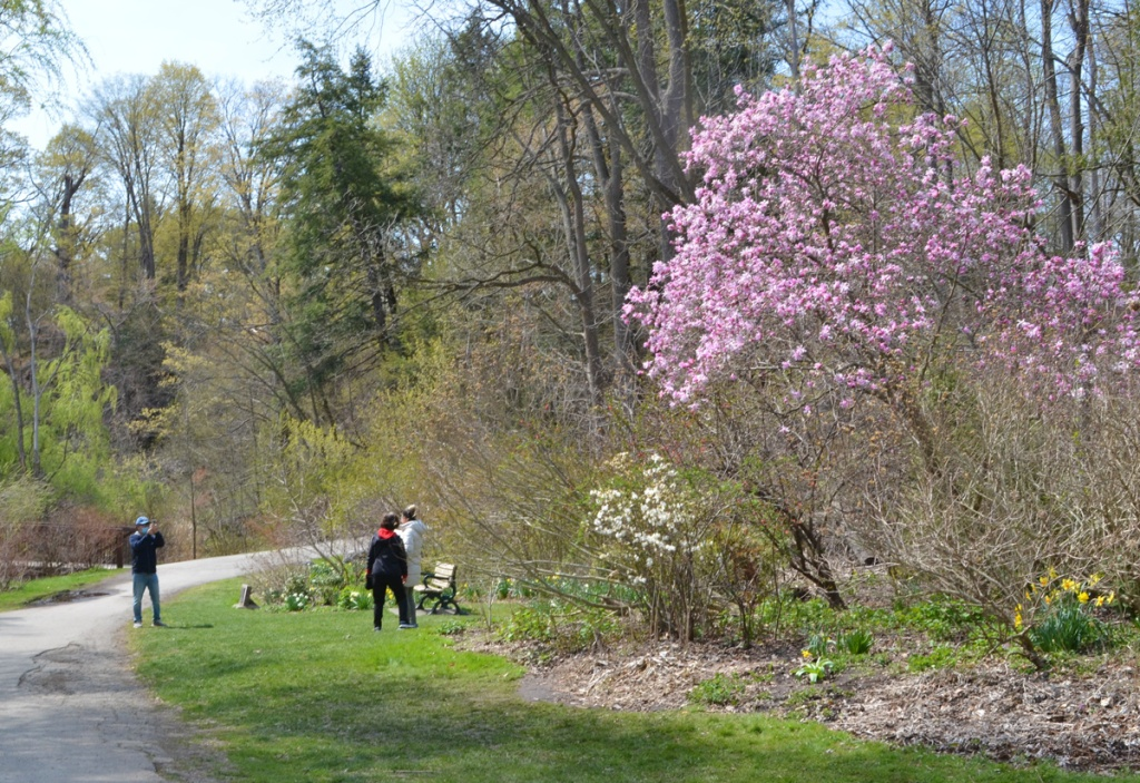 A man takes a picture of his wife and daughter in front of a tree full of pink blossoms at Edwards Gardens