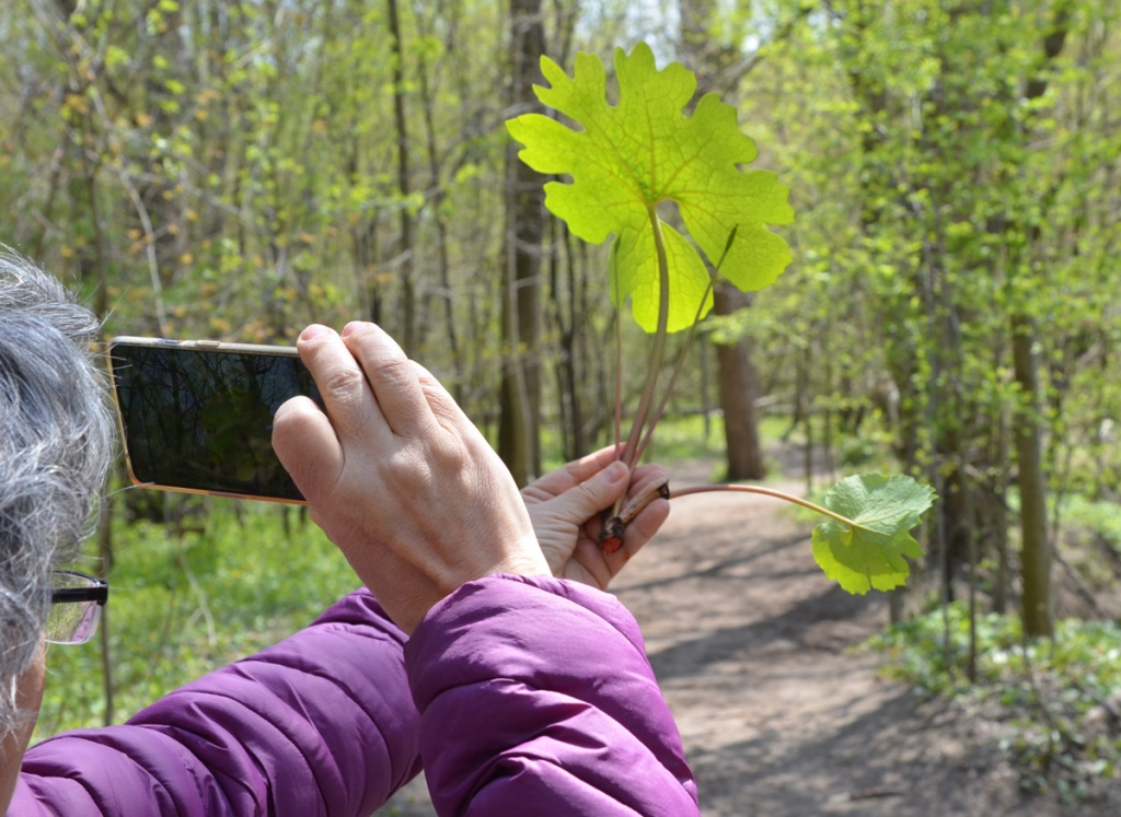 A person holding a bloodroot plant in one hand and a camera phone in the other, trying to get a picture showing texture of veins in the leaf