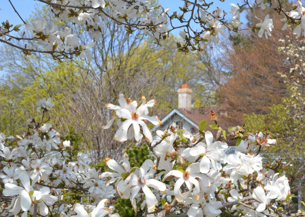 A white magnolia in full bloom in front of a house with chimney