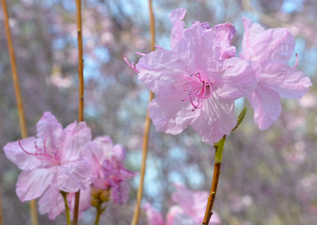 Pink blossoms on a tree, spring