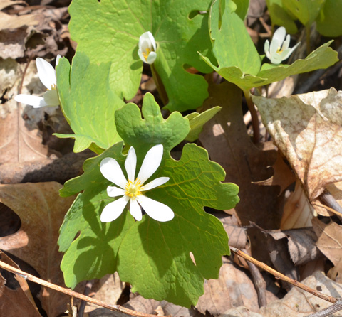 wildflower on forest floor, white bloodroot flower and leaves